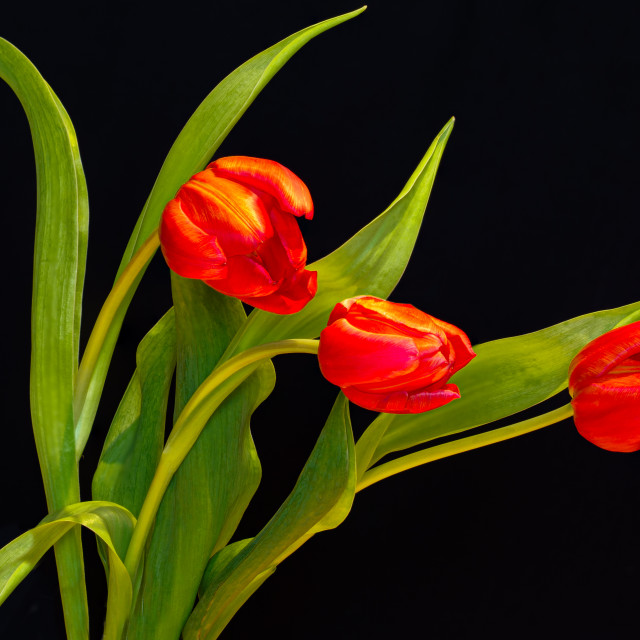 """Three Tulips"" stock image"