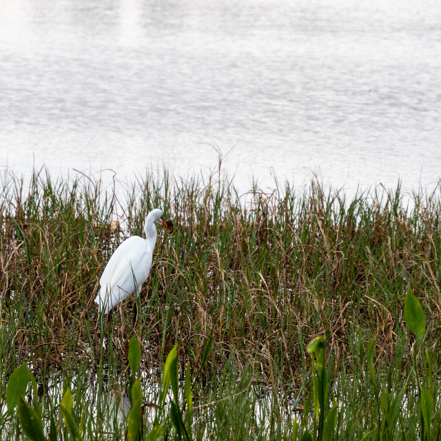"""A GREAT EGRET FISHING IN SHALLOW WATER"" stock image"