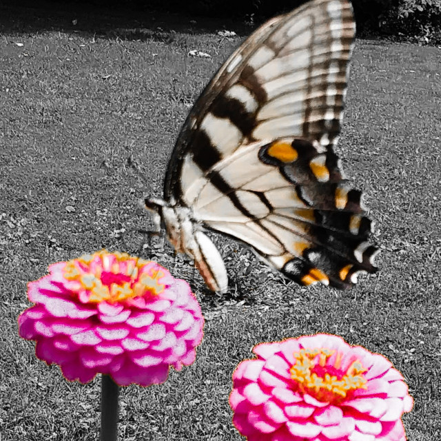 """Yellow butterfly on pink flowers"" stock image"