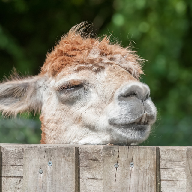 """sleepy alpaca"" stock image"