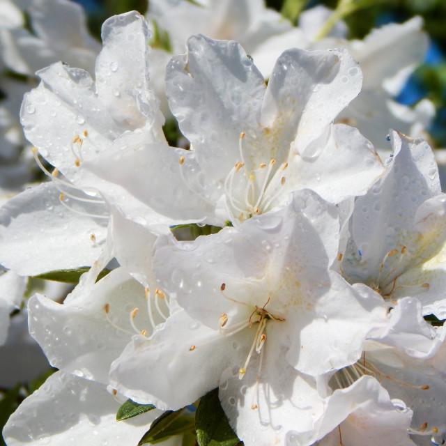 """""""Rain-Kissed White Azaleas"""" stock image"""