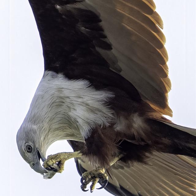 """Brahminy kite taking small nip in mid-air"" stock image"