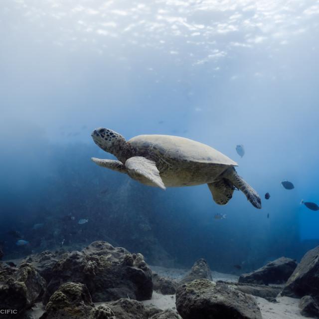 """Hawaiian Sea Turtle at Kahe Point"" stock image"