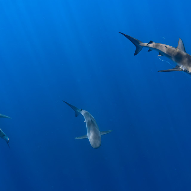 """""""Swimming with Sharks"""" stock image"""