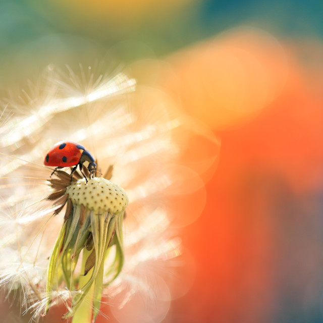 """""""A red ladybug is looking for food on a dandelion, on a nice colored background"""" stock image"""