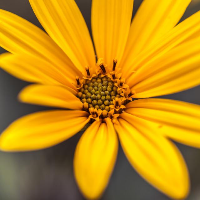 """""""Woodland Sunflower"""" stock image"""