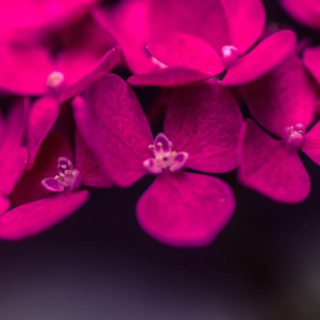 """Pink Hydrangea, close up"" stock image"