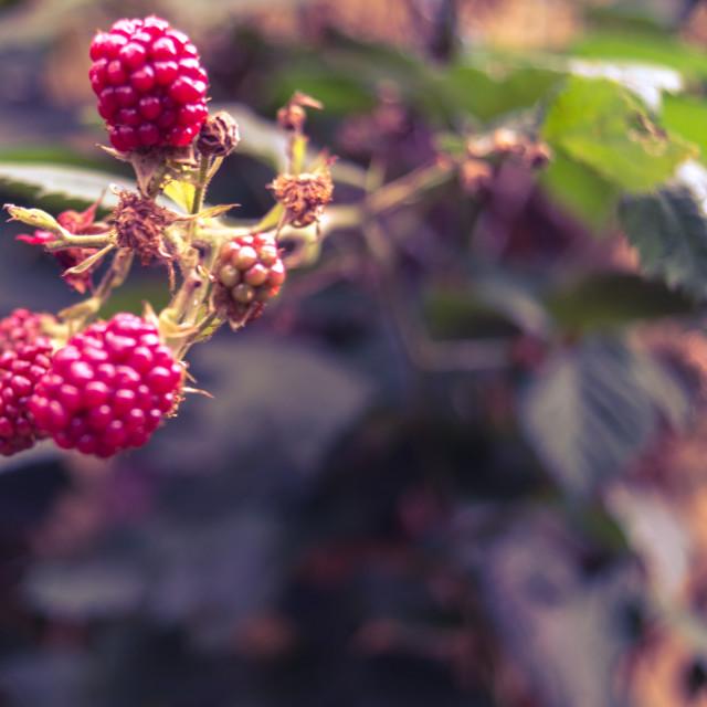 """Red raspberries"" stock image"