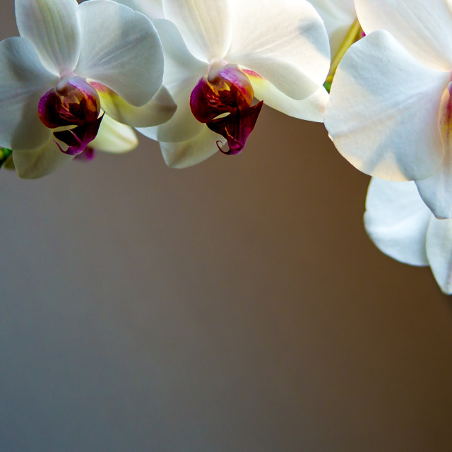 """""""Moth orchid by the window"""" stock image"""