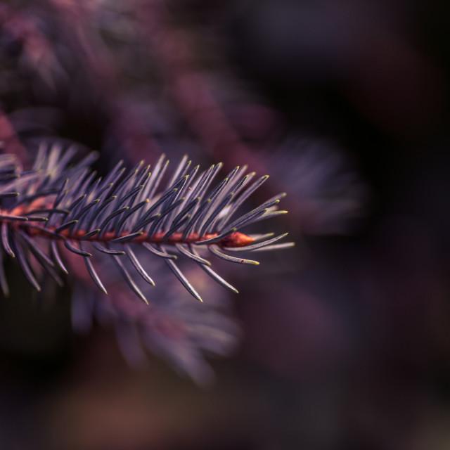 """Blue spruce christmas tree close-up"" stock image"
