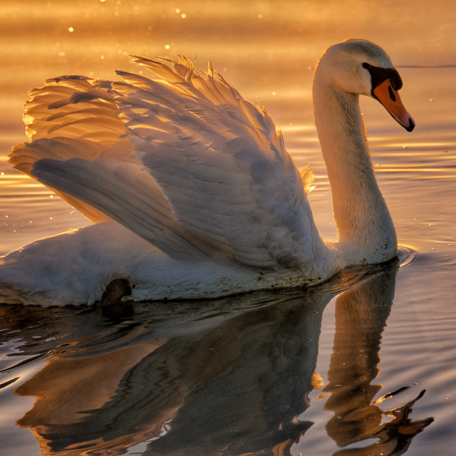 """Swan at Sunrise"" stock image"