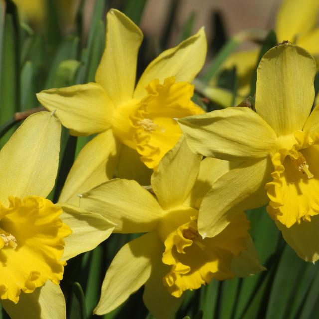 """Spring Yellow Daffodils"" stock image"