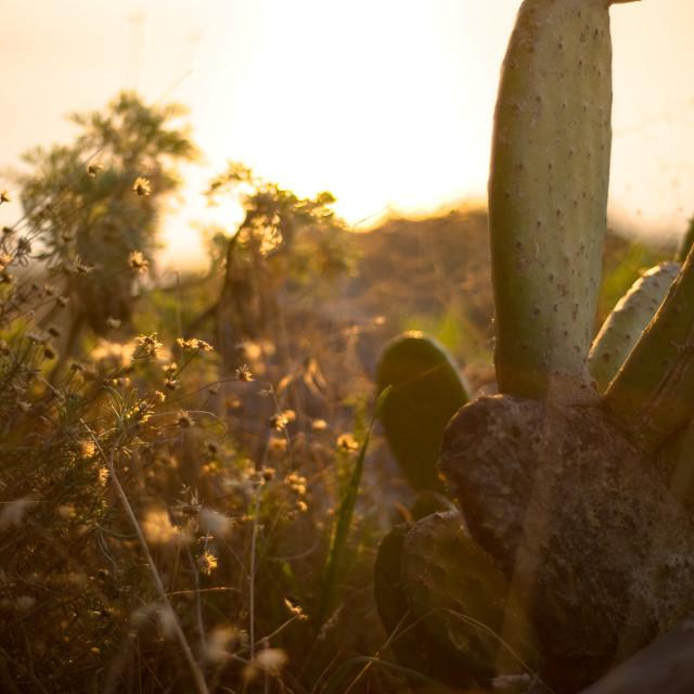 """Cactus at sunset"" stock image"