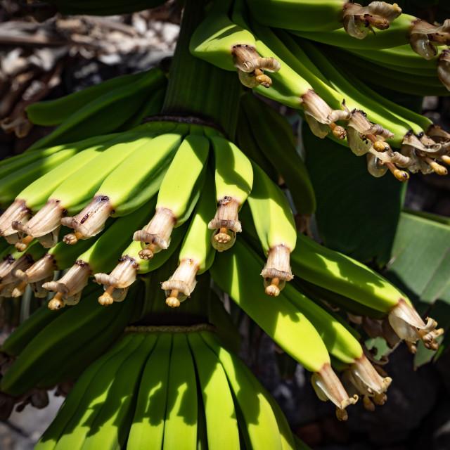 """""""Banana tree"""" stock image"""
