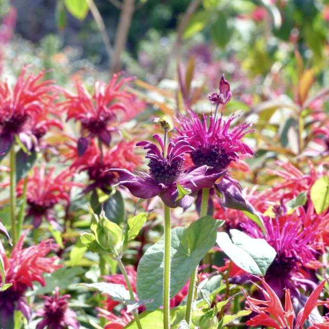 """Monarda flowers in the sunshine"" stock image"