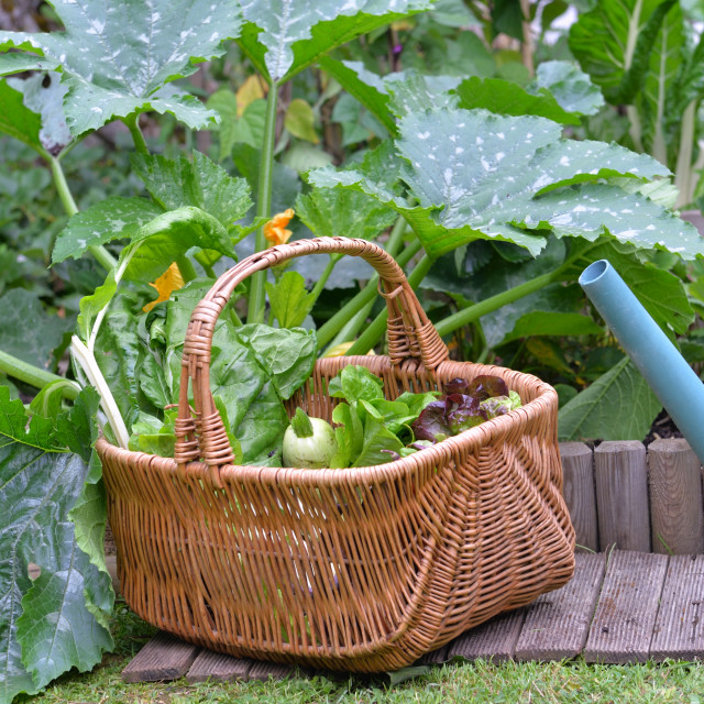 """""""fresh vegetable in a wicker basket with a watering can in vegetable garden"""" stock image"""