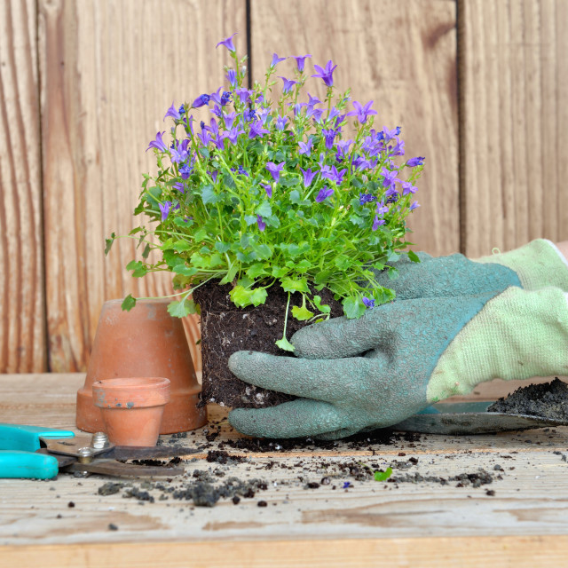 """""""gloved hands of a woman holding a plant with its clod for repotting"""" stock image"""