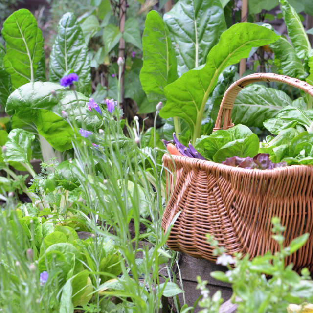 """fresh vegetable in a wicker basket in a little vegetable garden"" stock image"