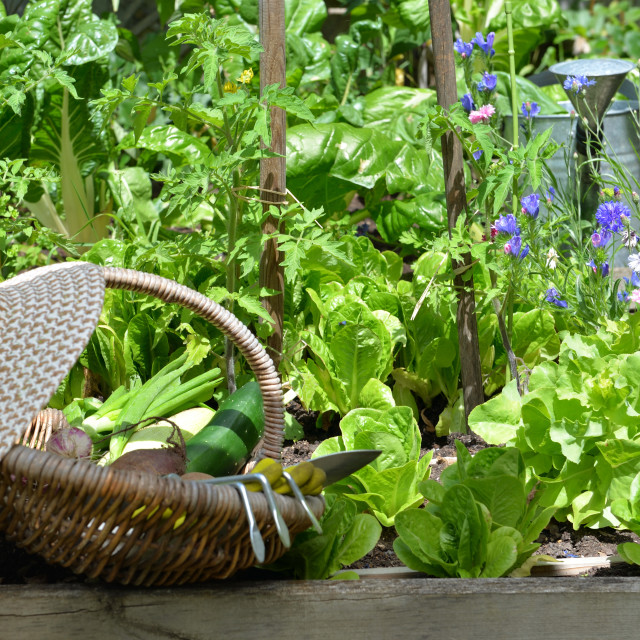 """""""fresh vegetable in a wicker basket with hat placed in among lea"""" stock image"""