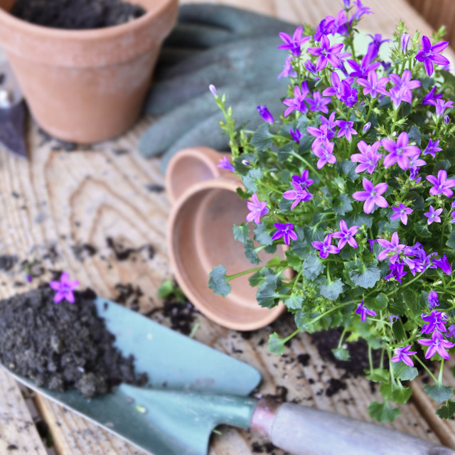 """""""flowers plant and a shovel with dirt for potting on a wooden table"""" stock image"""