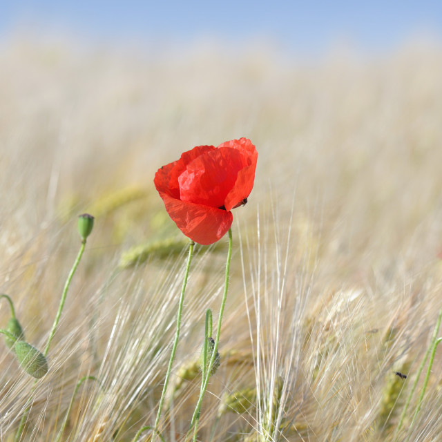 """""""panoramic view on red poppies flowers blooming in a cereal field"""" stock image"""