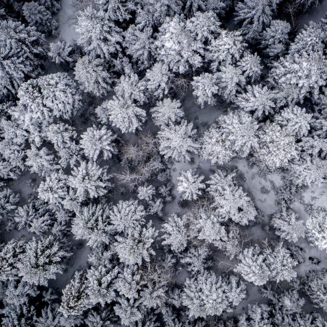 """Snowed Trees"" stock image"