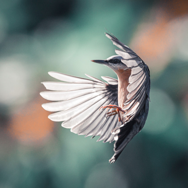 """Bird In Flight"" stock image"