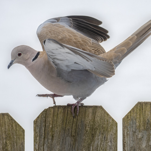 """Eurasian Collared Dove Walking on Fence"" stock image"