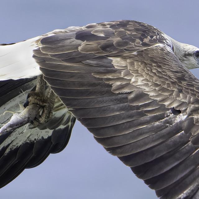 """Juvenile white bellied sea eagle"" stock image"