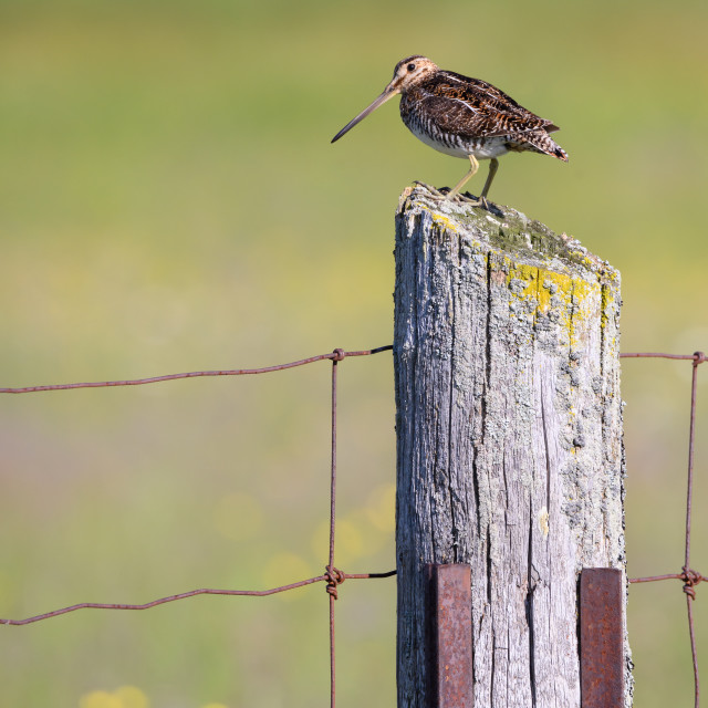 """Wilson's Snipe on Fencepost, Carden Alvar Provincial Park"" stock image"