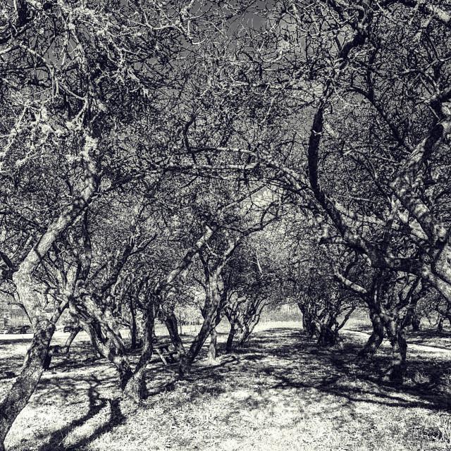 """Gnarly Apple Tree Orchard - Black & White"" stock image"
