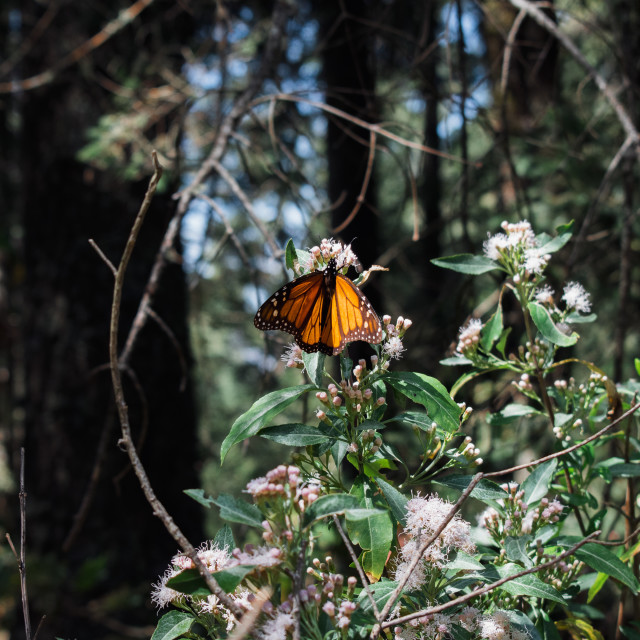 """Monarch Butterfly in Michoacan, Mexico"" stock image"