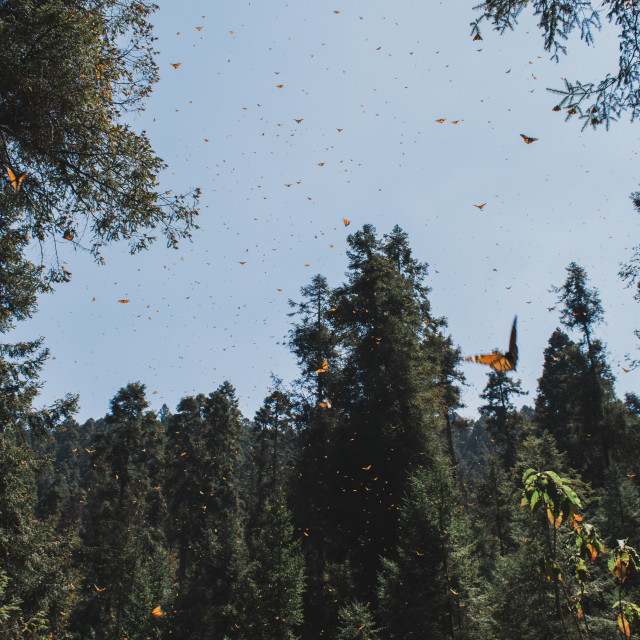 """Monarch Butterfly Migration in Michoacan, Mexico"" stock image"