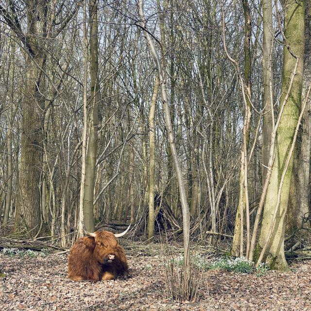 """Scottish Highlander resting under the trees 1"" stock image"