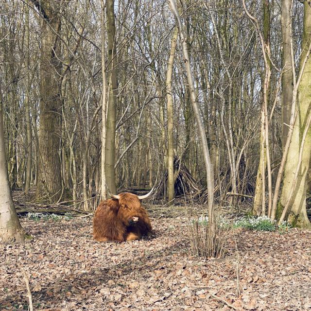 """Scottish Highlander resting under the trees 4"" stock image"