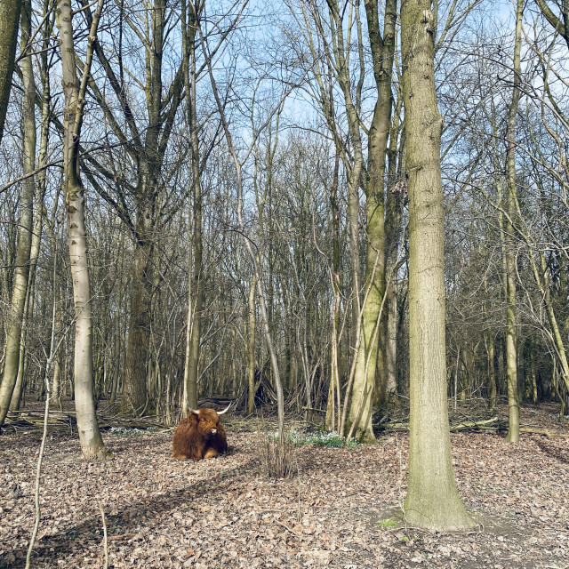 """Scottish Highlander resting under the trees 2"" stock image"