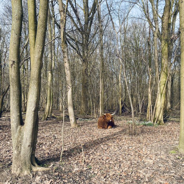 """Scottish Highlander resting under the trees 3"" stock image"