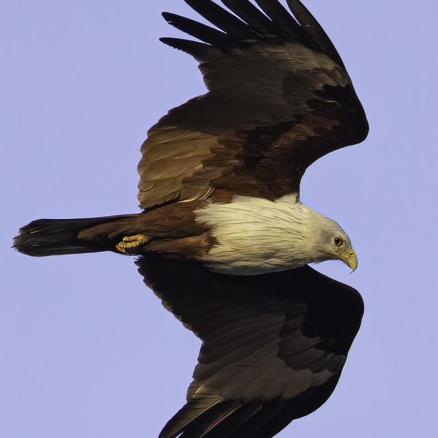 """""""Brahminy kite"""" stock image"""