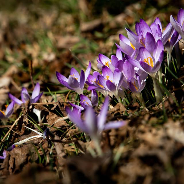 """violet crocus"" stock image"