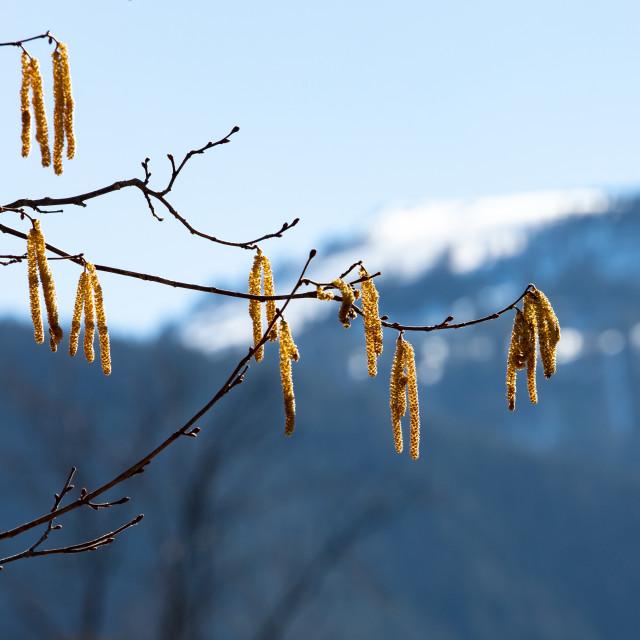 """Hazelnut bush in spring"" stock image"