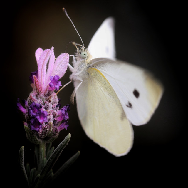 """Lavender with beautiful cabbage moth"" stock image"