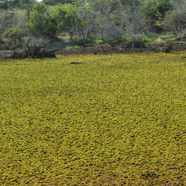 """""""Yala National Park, Sri Lanka, Asia."""" stock image"""