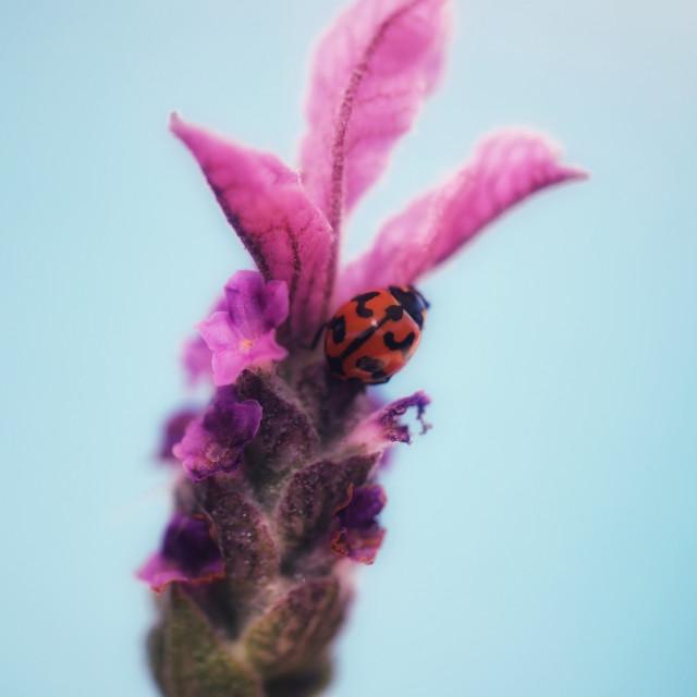 """Lavender beauty"" stock image"