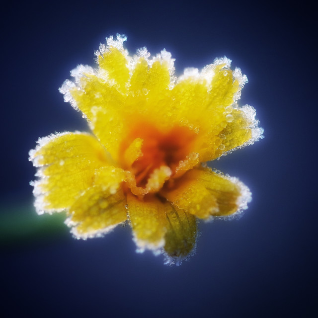"""""""Frosty Yellow Flower"""" stock image"""