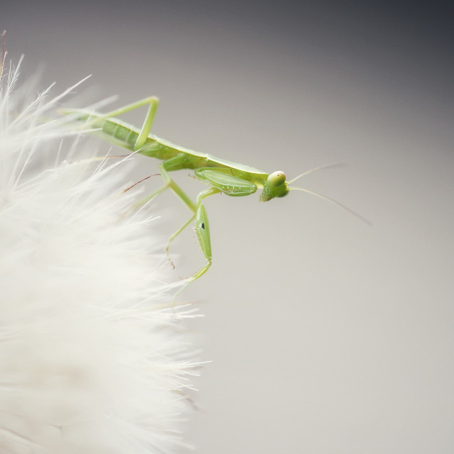 """Mantis on a beautiful dandelion"" stock image"