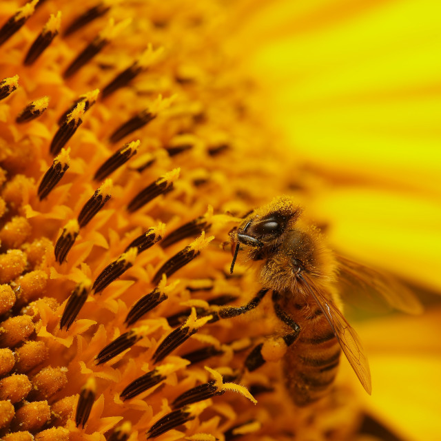 """Bee in a gorgeous sunflower"" stock image"