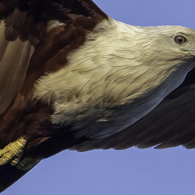 """Brahminy kite flying low"" stock image"