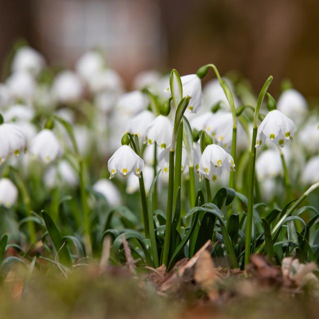 """Spring knot flower, Leucojum vernum"" stock image"
