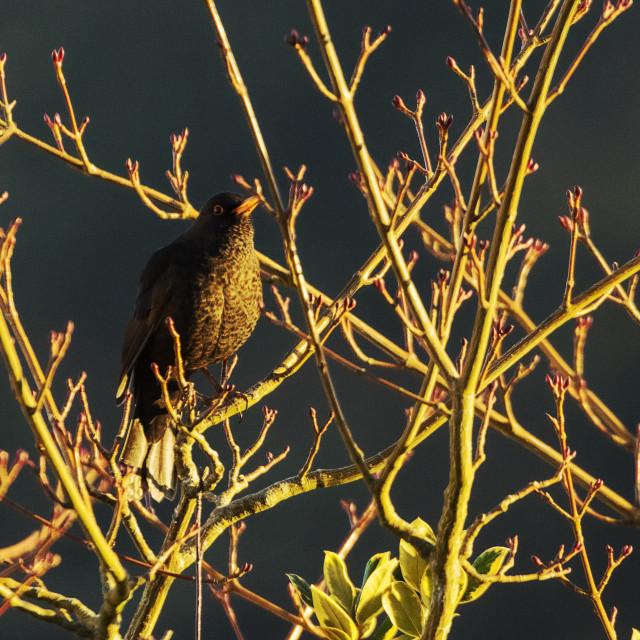 """Blackbird singing - early morning"" stock image"
