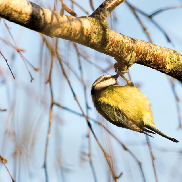 """""""Blue Tit - early morning"""" stock image"""